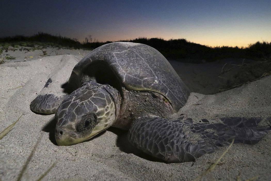 ARCHIVO. Una tortuga llega a la playa El Morro Ayuta para desovar, en San Pedro Huamelula, estado de Oaxaca, México, el jueves, 17 de noviembre de 2016.(Foto AP / Luis Alberto Cruz)