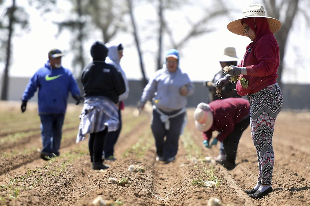 En una foto del 11 de abril de 2017, Karla Macias, a la derecha, saca algunas cebollas de sus bolsillos mientras trabaja con un pequeño grupo en un campo fuera de Platteville, Colorado.   Joshua  ...