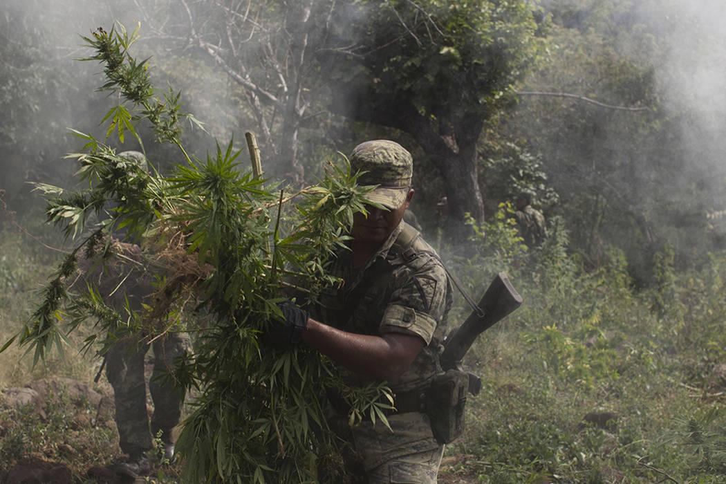 ARCHIVO - En esta foto del 25 de octubre, 2012, soldados recogen plantas de marihuana para quemarlas en una plantación descubierta durante una misión de reconocimiento cerca del pueblo de Lombar ...