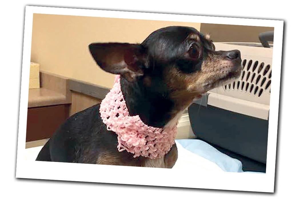Nena es una perrita que fue abandonada en las calles de Las Vegas, ahora lucha contra el cáncer causado por el maltrato y la exposición a las altas temperaturas. | Foto Cortesía.