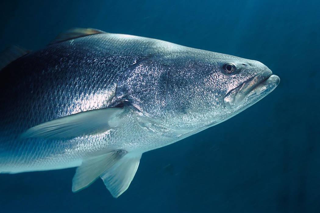 La totoaba y la vaquita marina son endémicas del Alto Golfo de California, en el noroeste de México, y ambas están clasificadas como especies en peligro de extinción. | Agencia.