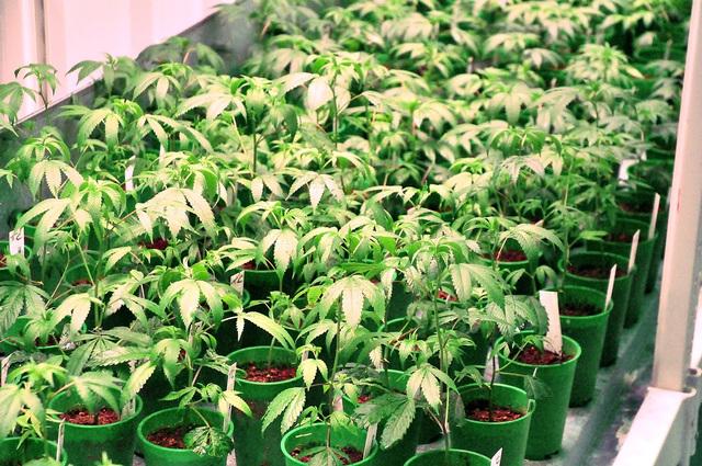 Aquí se ven plantas de marihuana medicinal cultivadas en instalaciones de Pahrump, Nevada. (Foto Horace Langford Jr./Pahrump Valley Times).