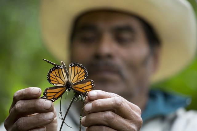 En esta foto de archivo, Nov. 12, 2015, un guía que ayuda a recorrer la reserva en Piedra Negra, México, muestra una mariposa monarca dañada y casi muerta. Expertos dieron a conocer el 9 de feb ...