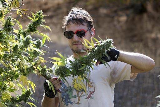 Anthony Viator corta ramas de una planta de marihuana, el 12 de octubre del 2016, en la granja de Laura Costa, cerca de Garberville, California. Costa se opone a la Proposición 64, que podría le ...