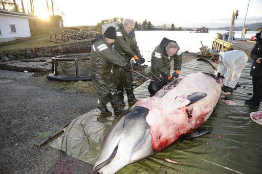 En esta foto de la University of Bergen, tomada el 31 de enero del 2017, se ve a investigadores de esta universidad cortando el cuerpo de una ballena de dos toneladas de peso, que tuvo que ser sac ...