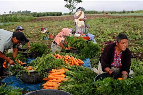 Trabajadores guatemaltecos del campo colectan y limpian zanahorias en en el poblado de Tecpan, Guatemala, el 31 de agosto del 2007. Las autoridades guatemaltecas informaron el 1 de marzo del 2017  ...