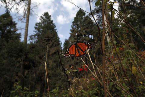 Foto archivo, Dec. 9, 2011.  Una mariposa Monarca en el santuario Sierra Chincua, en Michoacán, México. La deforestación es una de las tantas amenazas que afectan a la Monarca. (AP Photo/ Marco ...