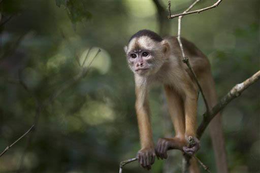 Un pequeño mono la región Lago do Janauari, cerca de Manaus, Brazil. (Foto Archivo/AP/Felipe Dana).