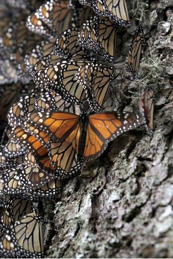 Mariposas monarca se apilan en el tronco de un árbol, en el santuario de la Mariposa Monarca en la Sierra Chincua, en las montañas del Estado de Michoacán, México, a donde llegan a hibernar en ...