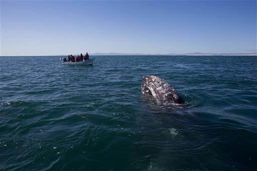 """En esta foto de archivo, del 3 de mayo del 2015, se ve a turistas en una lancha observando a una ballena gris, en la """"laguna de San Ignacio"""" en las aguas del Océano Pacífico, cerca del pueblo Gu ..."""