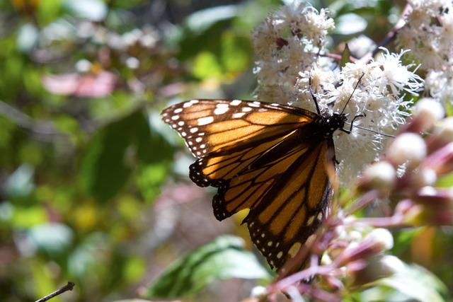 Una mariposa monarca se alimenta de una flor en el Santuario de la Sierra Chincua, en el estado de Michoacán, México.