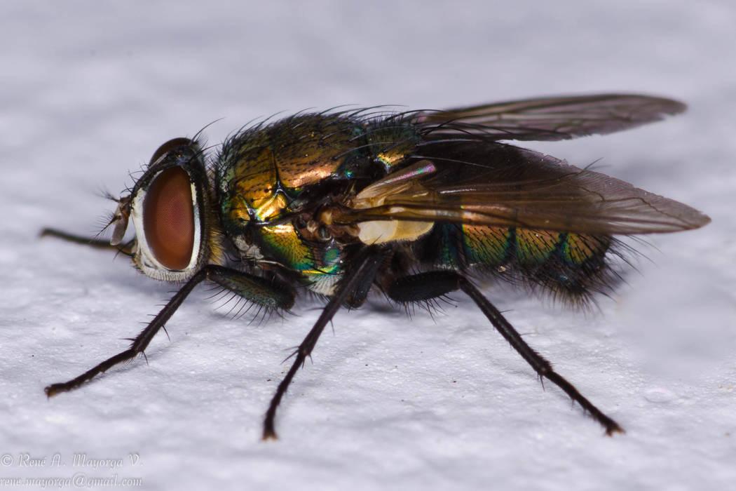 Una mosca común color negra y marrón. A pesar de lo moslestas y repugnantes que pueden ser las moscas, la ciencia está demostrando que son necesarias en el equilibrio ambiental y para la vida d ...