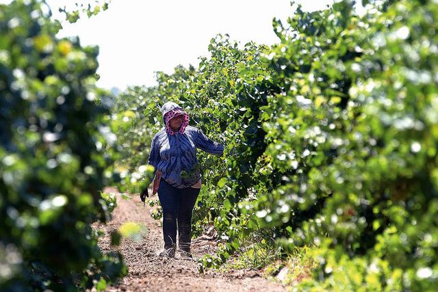 En esta foto tomada el 17 de agosto de 2016, un trabajador agrícola corte uvas en un viñedo en Clarksburg, California. | Foto AP/Rich Pedroncelli.