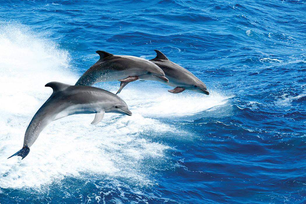 Los delfines, de la especie nariz de botella, fueron entrenados por la Armada de Estados Unidos, indicó Pacchiano en la inauguración de la estación naval de búsqueda, rescate y vigilancia mari ...