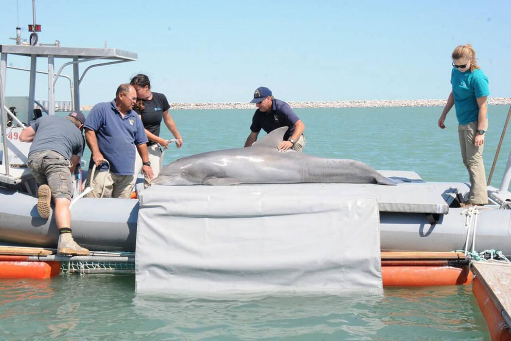 México contará, a partir del 11 de octubre, con un santuario para la conservación, protección y recuperación de la vaquita marina al inaugurarse la Estación Naval de Búsqueda, Rescate y Vig ...