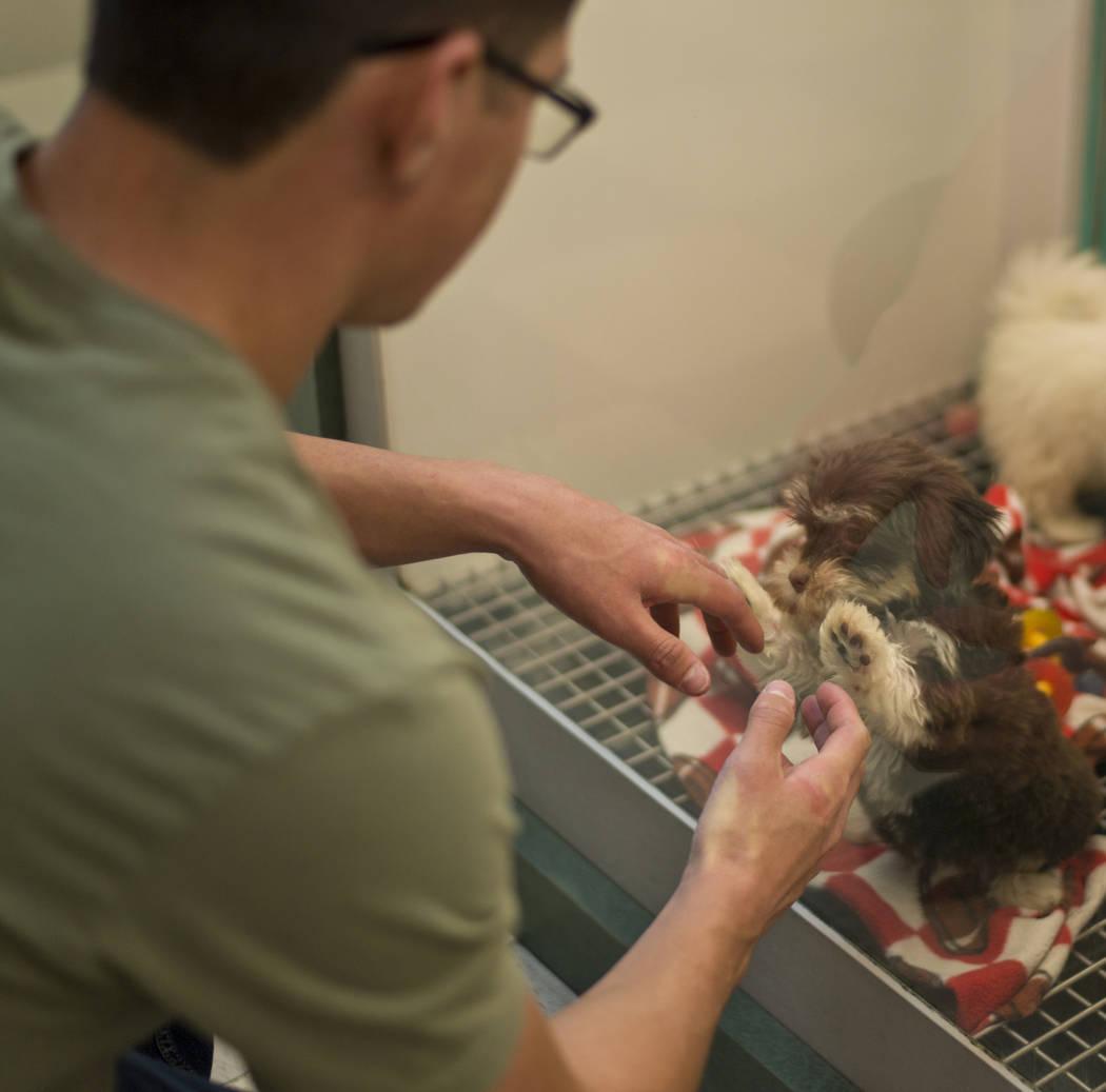 Michael Gallagher observa a los perros a la venta en Petland Las Vegas el miércoles 8 de noviembre de 2017. La tienda es una de las dos en el valle que se verán afectadas por la prohibición de  ...