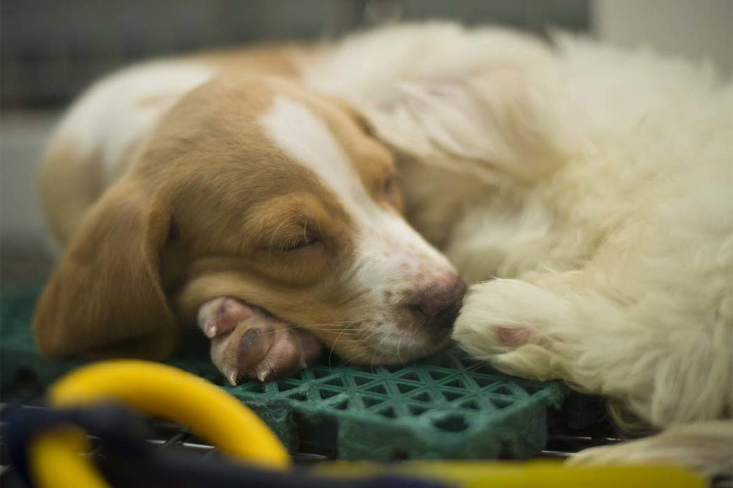 Un cachorros toma una siesta en Petland Las Vegas el miércoles 8 de noviembre de 2017. La tienda es una de las dos en el valle que se verán afectadas por la prohibición de vender perros que no  ...