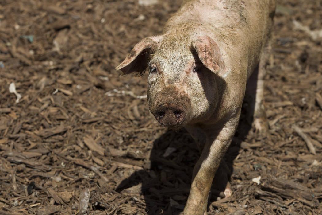 Un cerdo en Las Vegas Livestock, el establecimiento de composta en Las Vegas de los hermanos Combs, el viernes 16 de junio de 2017 en Las Vegas. Erik Verduzco / Las Vegas Review-Journal