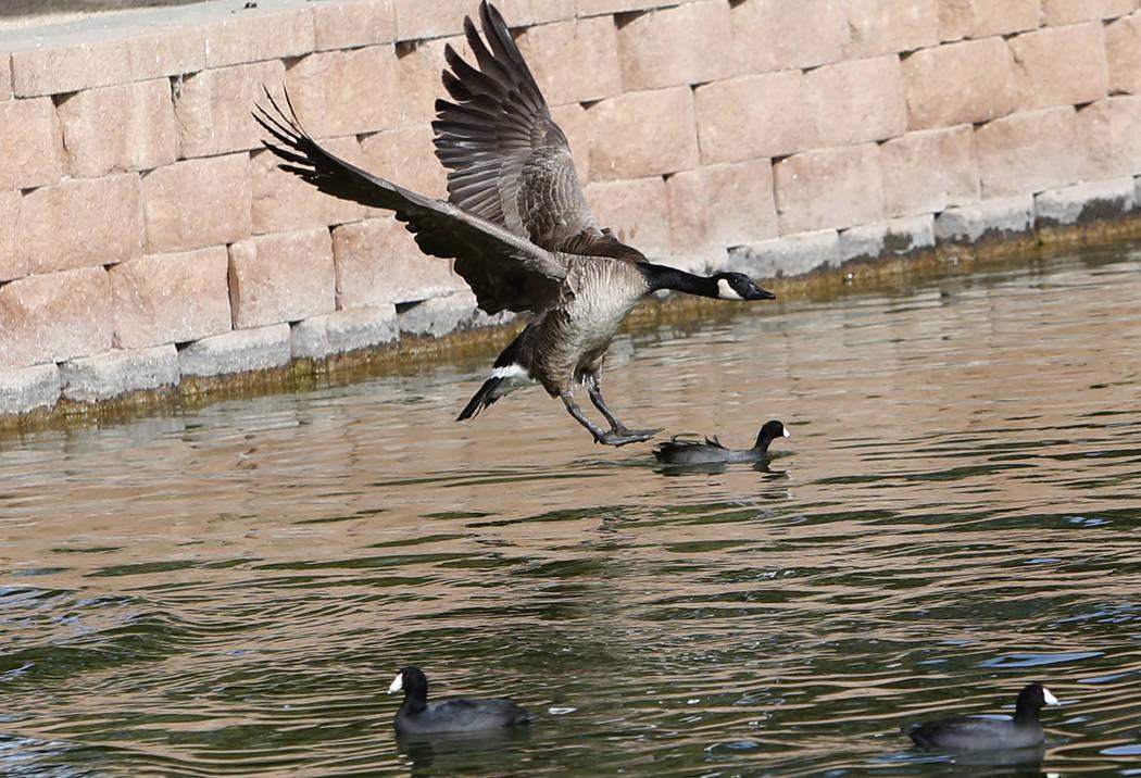 Un ganso de Canadá se acerca al agua y se prepara para aterrizar en Sunset Park Lake durante el Día Internacional de Aves Migratorias el martes 21 de noviembre de 2017, en Las Vegas. Bizuayehu T ...