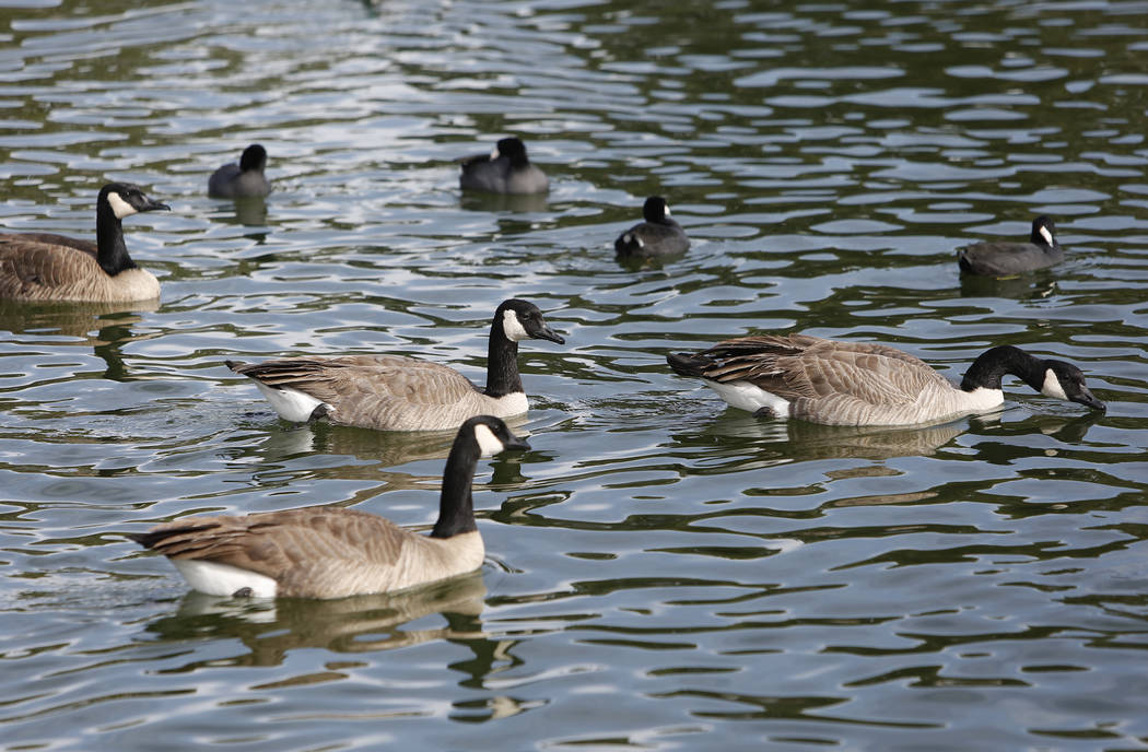 Gansos de Canadá y Fochas de América nadan durante el Día Internacional de Aves Migratorias el martes 21 de noviembre de 2017 en Sunset Park Lake en Las Vegas. Bizuayehu Tesfaye Las Vegas Revie ...