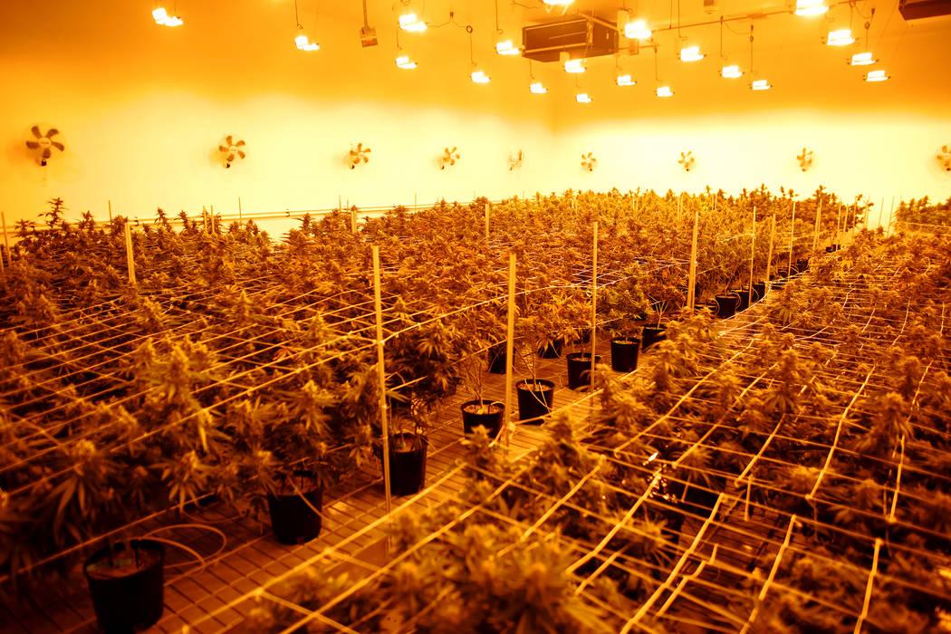 Plantas de marihuana en la sala de floración en Essence Cannabis Dispensary el miércoles, 14 de diciembre de 2016, en Las Vegas. (Rachel Aston / Las Vegas Review-Journal) @rookie__rae Journal) @ ...