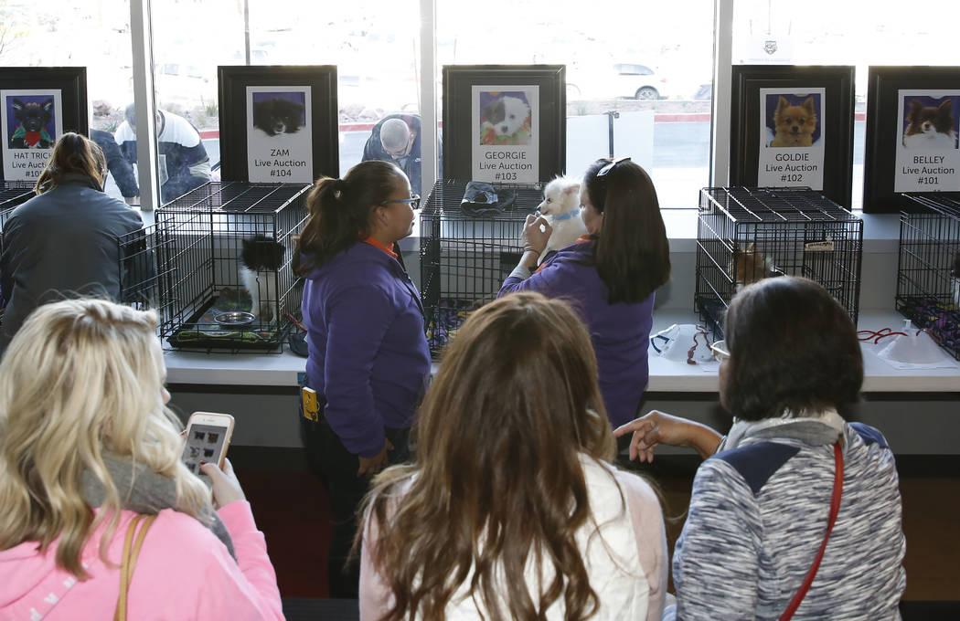La gente observa como voluntarios y Mary Gallagher, a la derecha, de la Fundación Animal, muestra perros Pomerania en City National Arena el lunes, 18 de diciembre de 2017, en Las Vegas. Los Vega ...