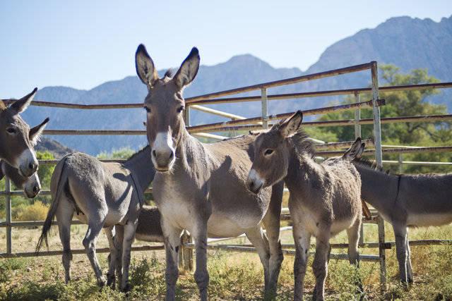 Los burros salvajes capturados se guardan en Oliver Ranch, cerca del área recreativa nacional Red Rock Canyon, cerca de Las Vegas. (Daniel Clark / Las Vegas Review-Journal) @DanJClarkPhoto