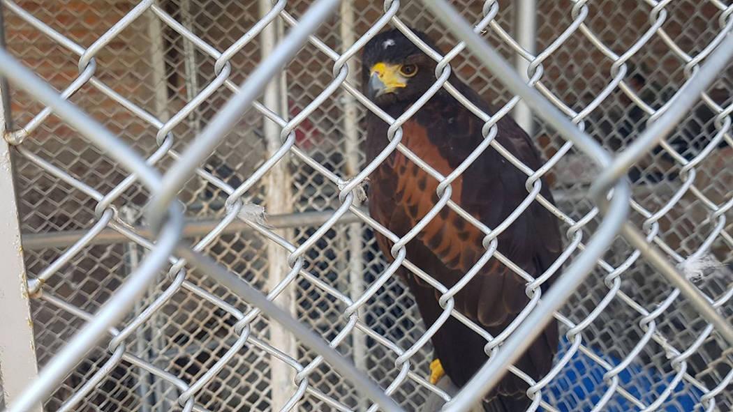 """ARCHIVO.- La Procuraduría Federal de Protección al Ambiente dio a conocer el aseguramiento precautorio de ocho ejemplares de vida silvestre en el Rancho """"La Esperanza"""", localizado en el muni ..."""
