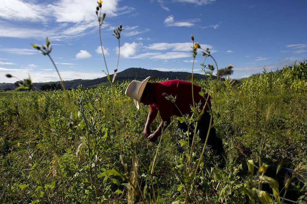 En esta foto del 22 de julio de 2016, el agricultor Arturo García Muñoz recoge los guisantes en un ejido a las afueras de la aldea de San Felipe Hidalgo, cerca de Nanacamilpa, estado de Tlaxcala ...