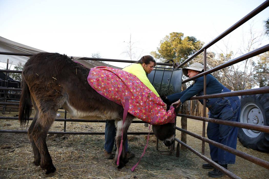 Misty Sorensen, la cuidadora de animales grandes, izquierda, y Kelly Trobaugh, presidente de Barn Buddies Rescue, cubren su burro con una manta en Barn Buddies Rescue en The Farm en Las Vegas el d ...