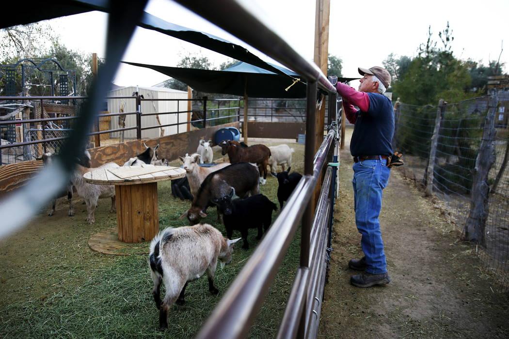 Glenn Linsenbardt, propietario de Barn Buddies Rescue, retira la lona del recinto de las cabras en preparación de los fuertes vientos en Barn Buddies Rescue en The Farm en Las Vegas el domingo 18 ...