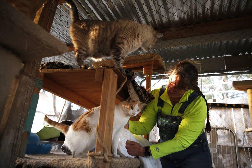Misty Sorensen, la cuidadora de animales grandes, coloca mantas calentadas en todo el recinto de gatos en Barn Buddies Rescue en The Farm en Las Vegas el domingo 18 de febrero de 2018. Andrea Corn ...