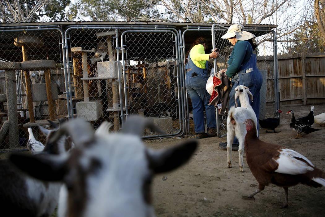 Misty Sorensen, la cuidadora de animales grandes, izquierda, y Kelly Trobaugh, presidente de Barn Buddies Rescue, se preparan para colocar mantas calentadas en el gabinete de gatos en Barn Buddies ...