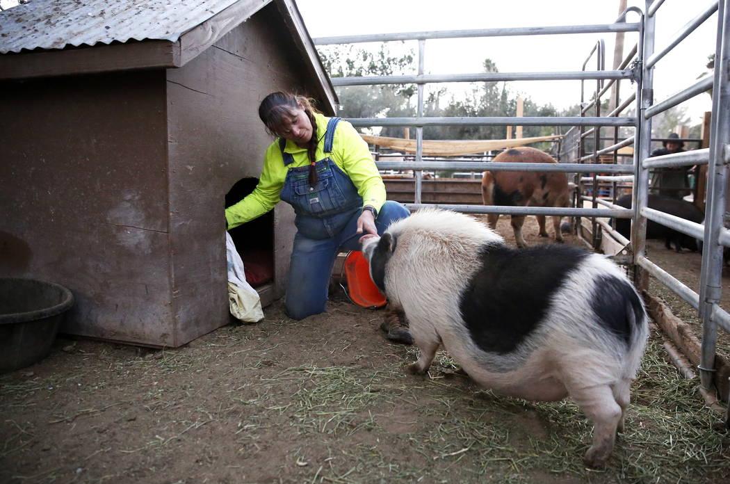 Misty Sorensen, la cuidadora de animales grandes, coloca mantas dentro de un recinto de cerdos en Barn Buddies Rescue en The Farm en Las Vegas el domingo 18 de febrero de 2018. Andrea Cornejo Las  ...