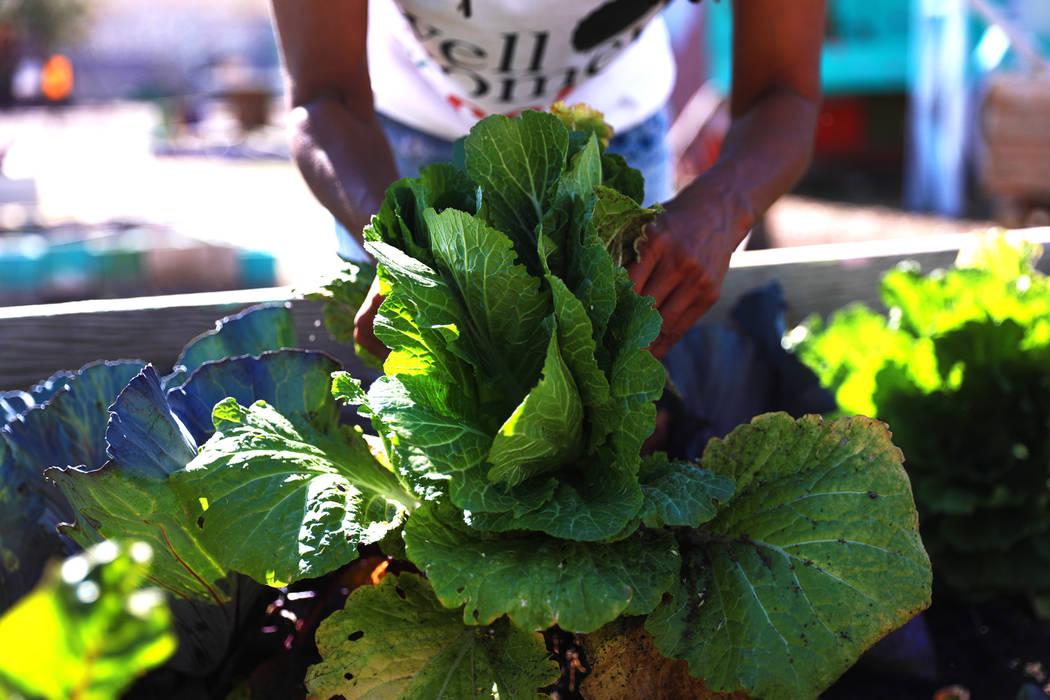 Rosalind Brooks, fundadora de Vegas Roots Community Garden y Veggie Buck Truck, se dirige a su jardín el viernes en Las Vegas, el 9 de febrero de 2018. El mercado de agricultores móviles se diri ...