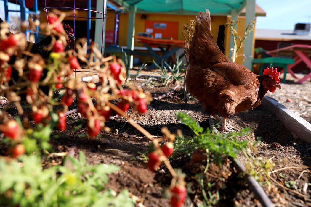 Una gallina deambula por el Vegas Roots Community Garden el viernes en Las Vegas, el 9 de febrero de 2018. El mercado de agricultores móviles, conocido como Veggie Buck Truck, se dirigirá a Hend ...