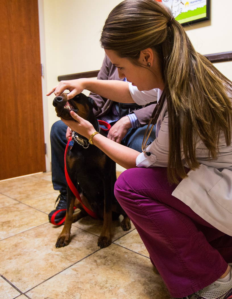 La Dra. Brittney Spurling, veterinaria del Cheyenne West Animal Hospital, revisa a Harley, un Doberman de un año, antes de vacunarla en Las Vegas el viernes 16 de febrero de 2018. (Revisión de C ...