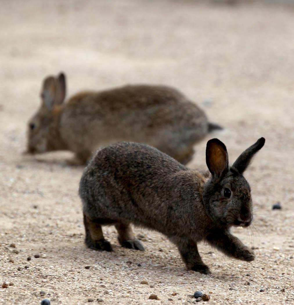 Conejos en el campus West Charleston del estado de Nevada Lunes, 19 de febrero de 2018. Grupos de rescate de conejos dicen que encontraron muchos de los cientos de conejos domésticos que viven en ...