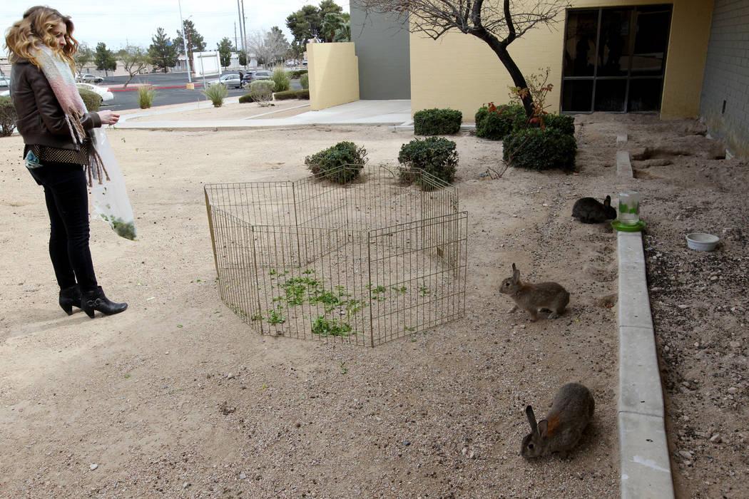 Tina Dawn Drouin de Vegas Bunny Rescue trata de capturar conejos en el campus de West Charleston del estado de Nevada el lunes 19 de febrero de 2018. Drouin y representantes de otros grupos de res ...