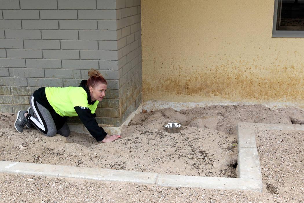 """Stacey Taylor del grupo de rescate de conejos """"Los conejos importan en Vegas también"""" intenta capturar conejos en el campus de West Charleston del estado de Nevada el lunes 19 de febrero de 2018. ..."""