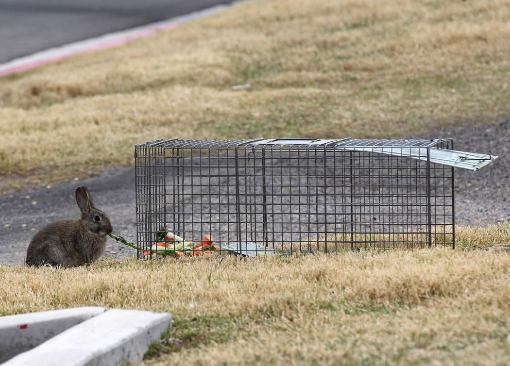 Un conejo come comida de carnada desde afuera de una trampa en el campus West Charleston del Estado de Nevada Lunes, 19 de febrero de 2018. Grupos de rescate de conejos dicen que encontraron mucho ...
