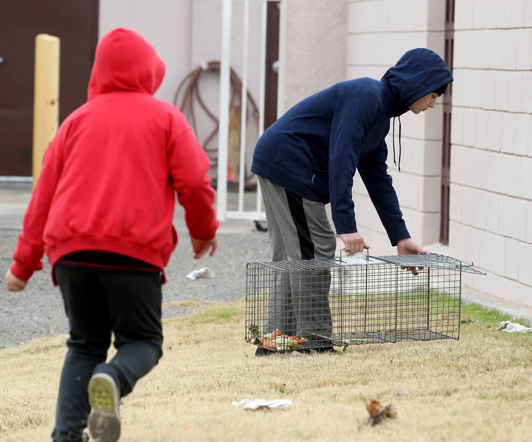 Brayden Broach, 9, izquierda, y Christopher DeHoedt, 13, intentan capturar conejos en el campus West Charleston del estado de Nevada el lunes 19 de febrero de 2018. Grupos de rescate de conejos di ...