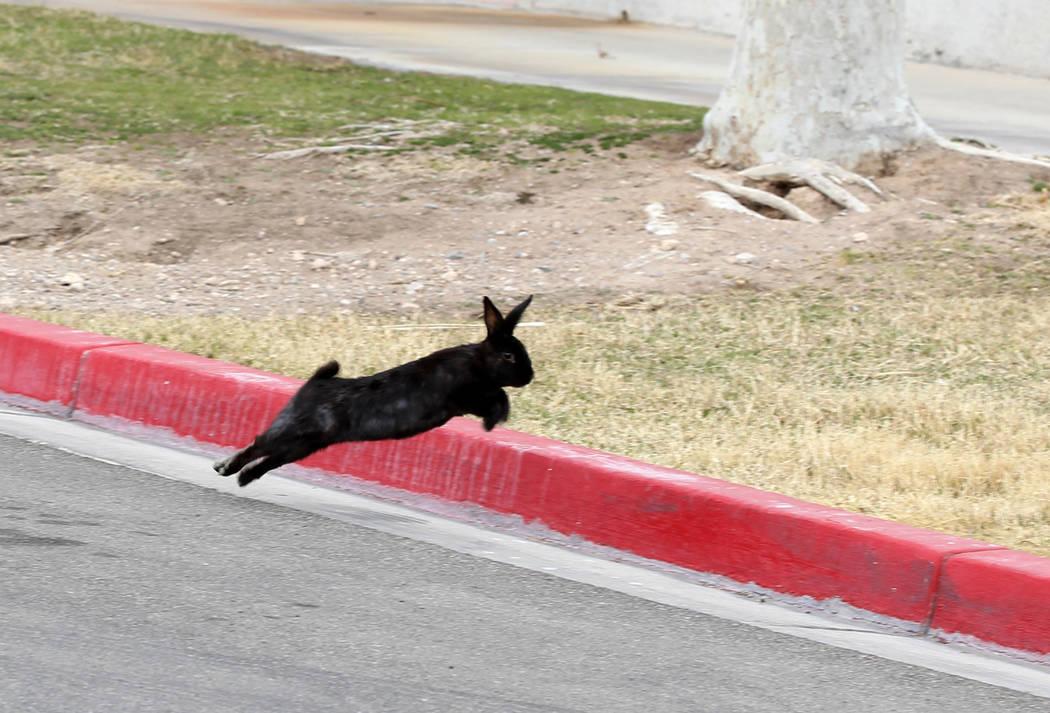 Un conejo en el campus de West Charleston del estado de Nevada Lunes, 19 de febrero de 2018. Grupos de rescate de conejos dicen que encontraron muchos de los cientos de conejos domésticos que viv ...