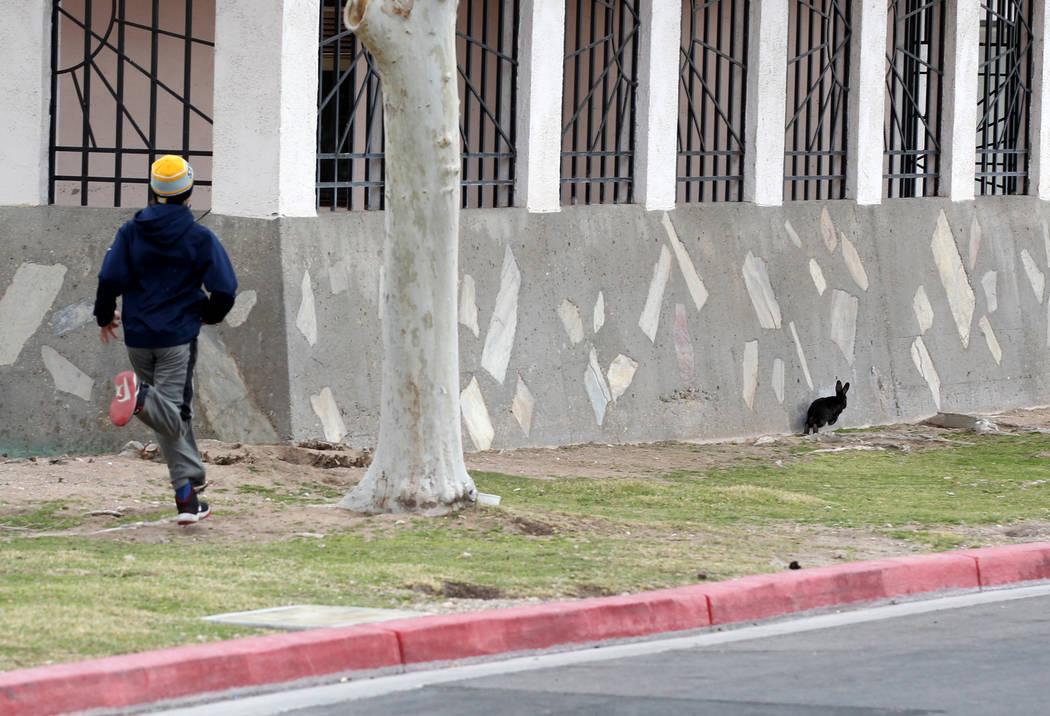 Christopher DeHoedt, de 13 años, se une para capturar un conejo en el campus West Charleston del estado de Nevada el lunes 19 de febrero de 2018. Grupos de rescate de conejos dicen que encontraro ...