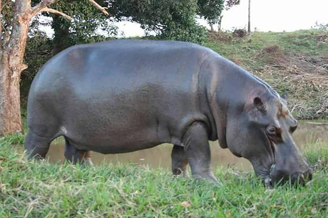 """Autoridades de la Procuraduría Federal de Protección al Medio Ambiente monitorean a """"Tyson"""", un hipopótamo del Nilo que escapó en las Choapas, Veracruz, el cual debe ser recapturado por el ..."""