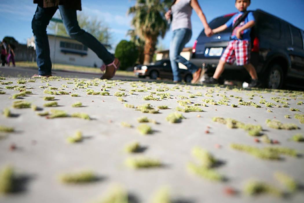 Los padres acompañan a los estudiantes a la escuela pasando por un árbol donde el polen de morera cubre la acera en la esquina de West Providence Lane y South Essex Drive, cerca de la Escuela Pr ...
