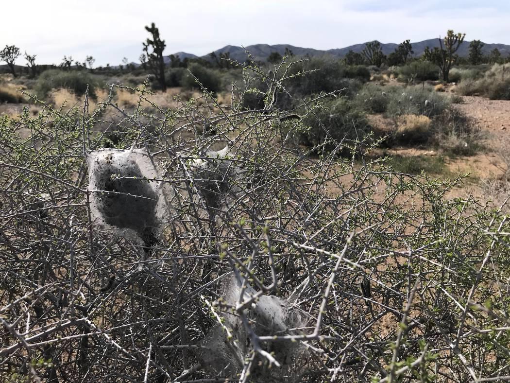 Las colonias de seda tejidas por las orugas de carpa occidentales cuelgan en los arbustos al oeste de Searchlight el 9 de abril. Henry Brean Las Vegas Review-Journal