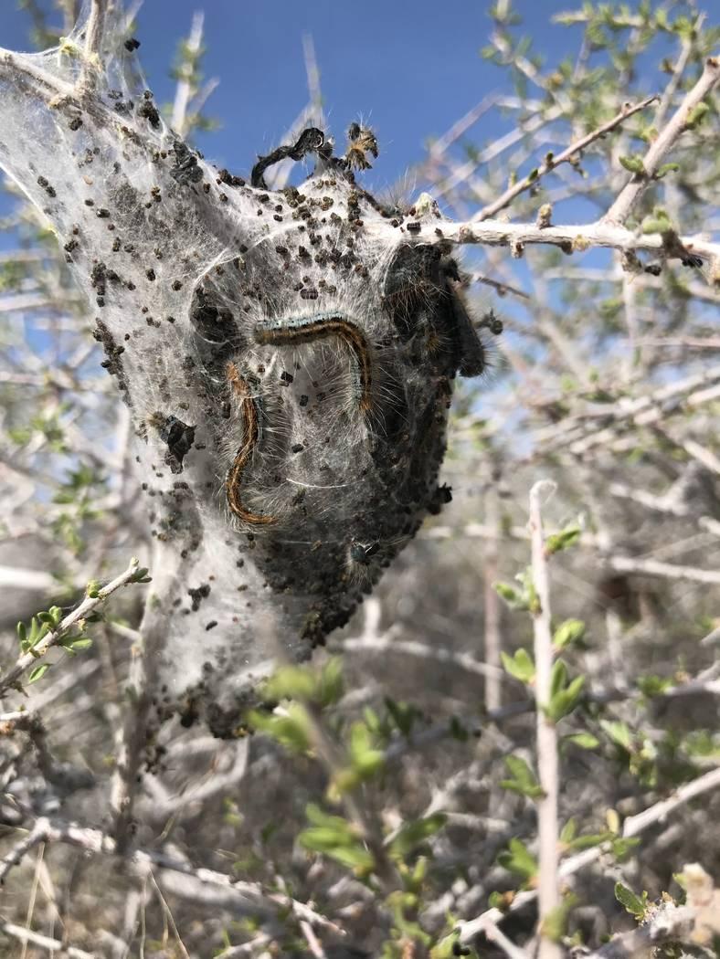 Las orugas de carpa occidentales se arrastran por su casa de seda en un arbusto de almendras del desierto al oeste de Searchlight el 9 de abril. Henry Brean Las Vegas Review-Journal