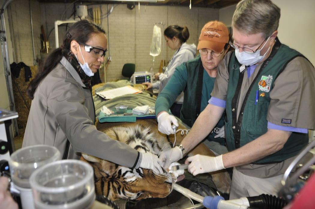 La Dra. Tina Brandon Abbatangelo, izquierda, realiza un procedimiento dental en un tigre de Sumatra en el Centro Exotic Feline Rescue durante un viaje con la Fundación veterinaria internacional P ...