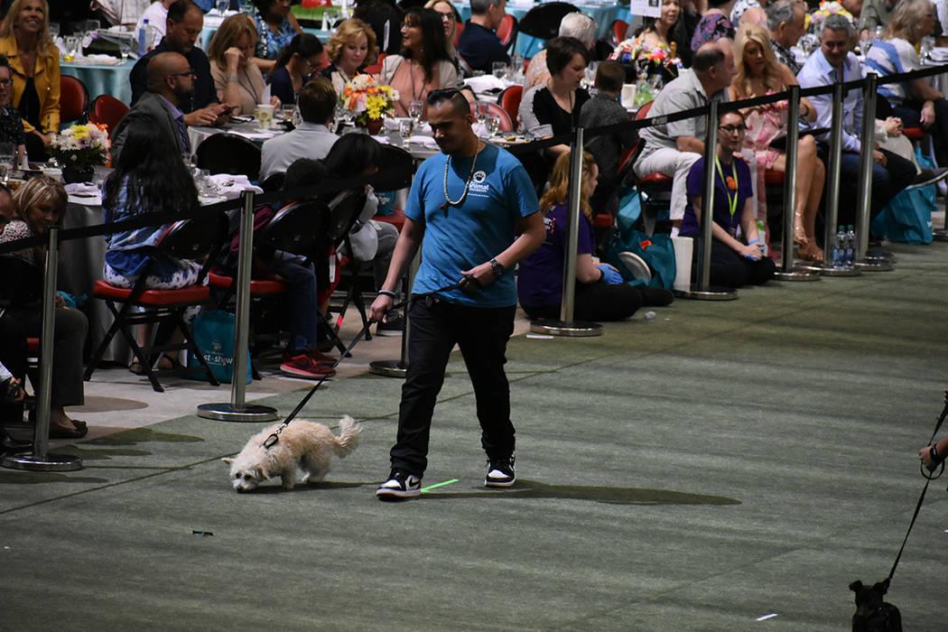 Uno a uno, cada 'peludo' acompañado de un voluntario hizo su recorrido por el inmueble. 22 de abril de 2018 en Thomas & Mack Center. Foto El Tiempo.
